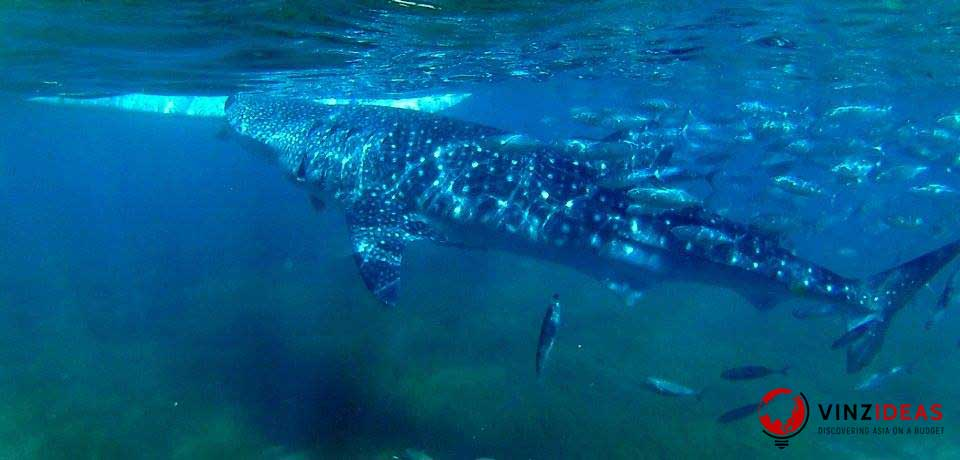 whale-shark-oslob
